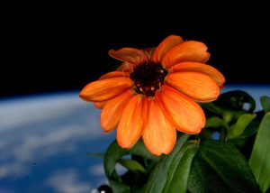 NASA orange zinnia in space