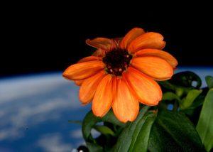NASA orange zinnia in space