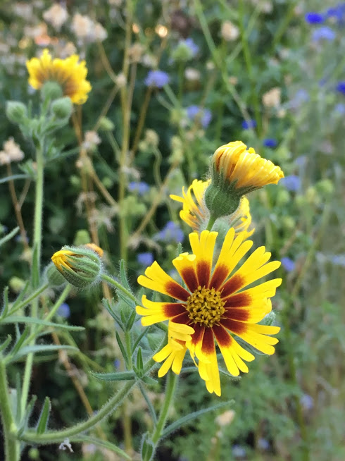 yellow wildflower tarweed in oregon garden